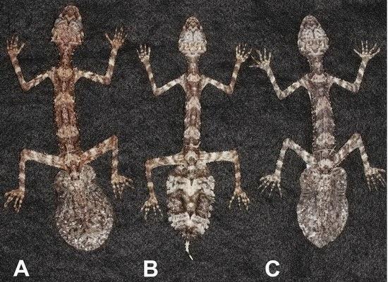 Une nouvelle espèce de lézard découverte en Australie