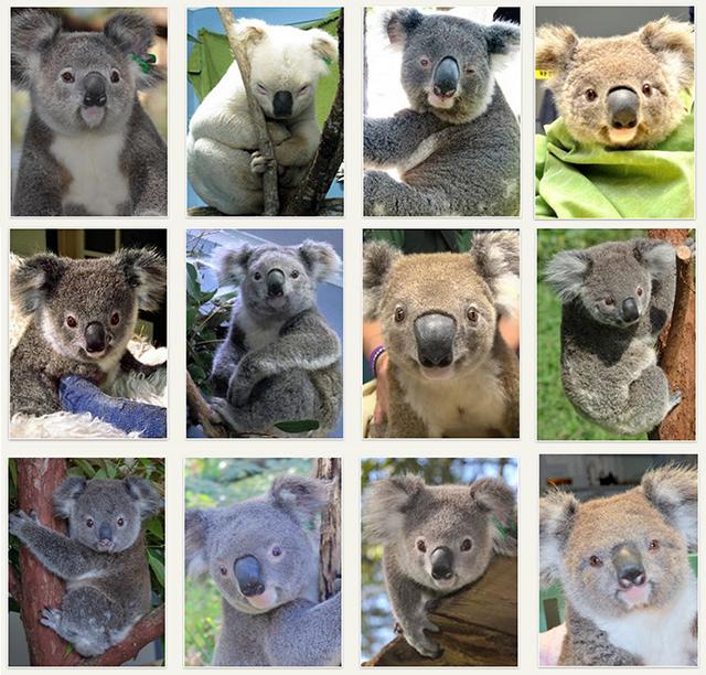 koala-adoption